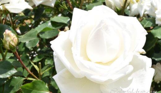 神代植物公園「春のバラフェスタ」-続・たくさんのバラたち