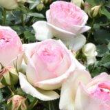 神代植物公園「春のバラフェスタ」-たくさんのバラたち