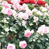 神代植物公園「春のバラフェスタ」-バラのアーチ