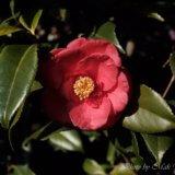 camellia_sasanqua