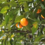 七十二候『橘始黄』