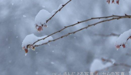 七十二候『雪下出麦』