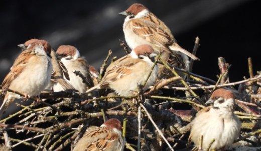 二十四節気『春分』・七十二候『雀始巣』