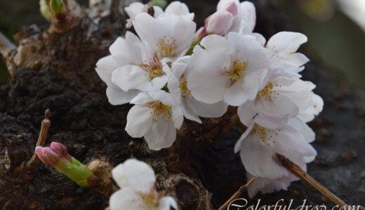 カメラを持って桜の偵察