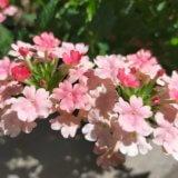 猛暑の中を健気に咲くお花たち