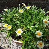心配し続けたお花が勢いよく咲き始めました
