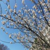 桜の様子を見ながらウォーキング