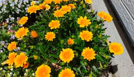 ビオラもガザニアも花盛り ♪